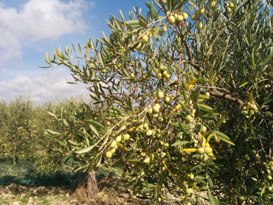vendita-online-olio-extra-vergine-di-oliva-val-di-mazara