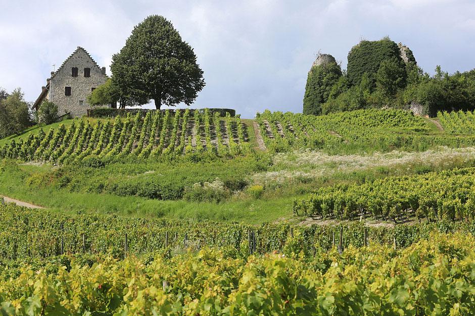 Vin de Savoie. Vignoble de Chignin. Savoie.