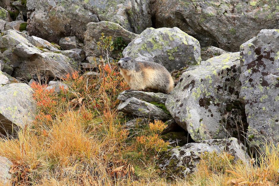 Marmotte. Mont Lachat. Haute-Savoie.