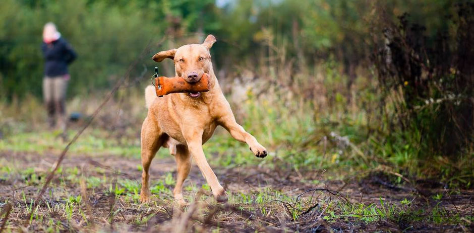 Chesapeake Bay Retriever Deutschland Work&Talk WorkandTalk Welpen Chessie DRC Retriever Club Jagdhund Wasserspezialist Wasserhund Entenhund Gänsehund Hundearbeit Dummytraining