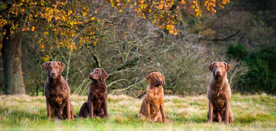 Chesapeake Bay Retriever Deutschland Work&Talk WorkandTalk Welpen Chessie DRC Retriever Club Jagdhund Wasserspezialist Wasserhund Entenhund Gänsehund