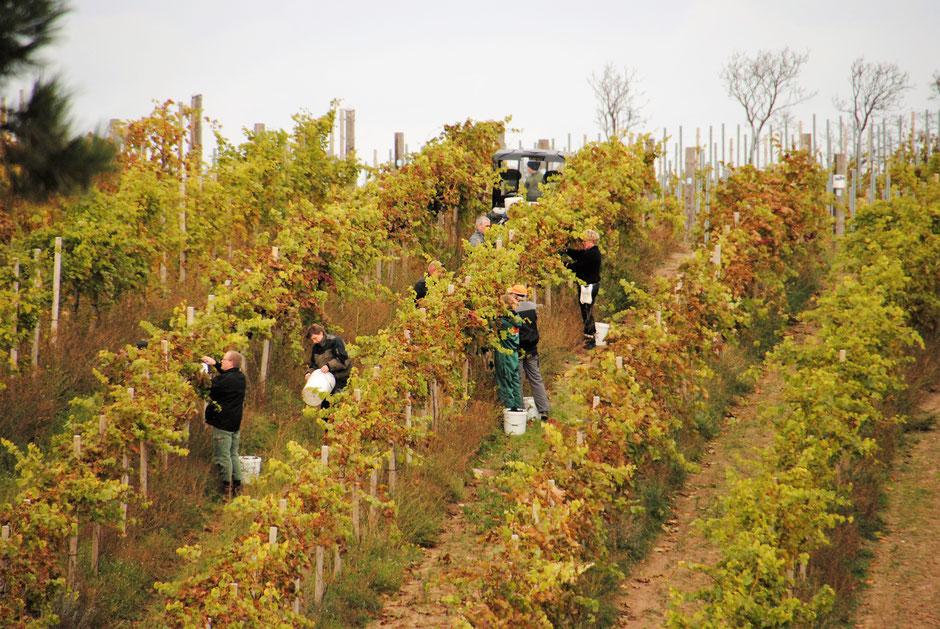 Echte Handarbeit: Weinlese auf dem dänischen Weingut Dyrehøj Vingaard auf Seeland. Foto: PR