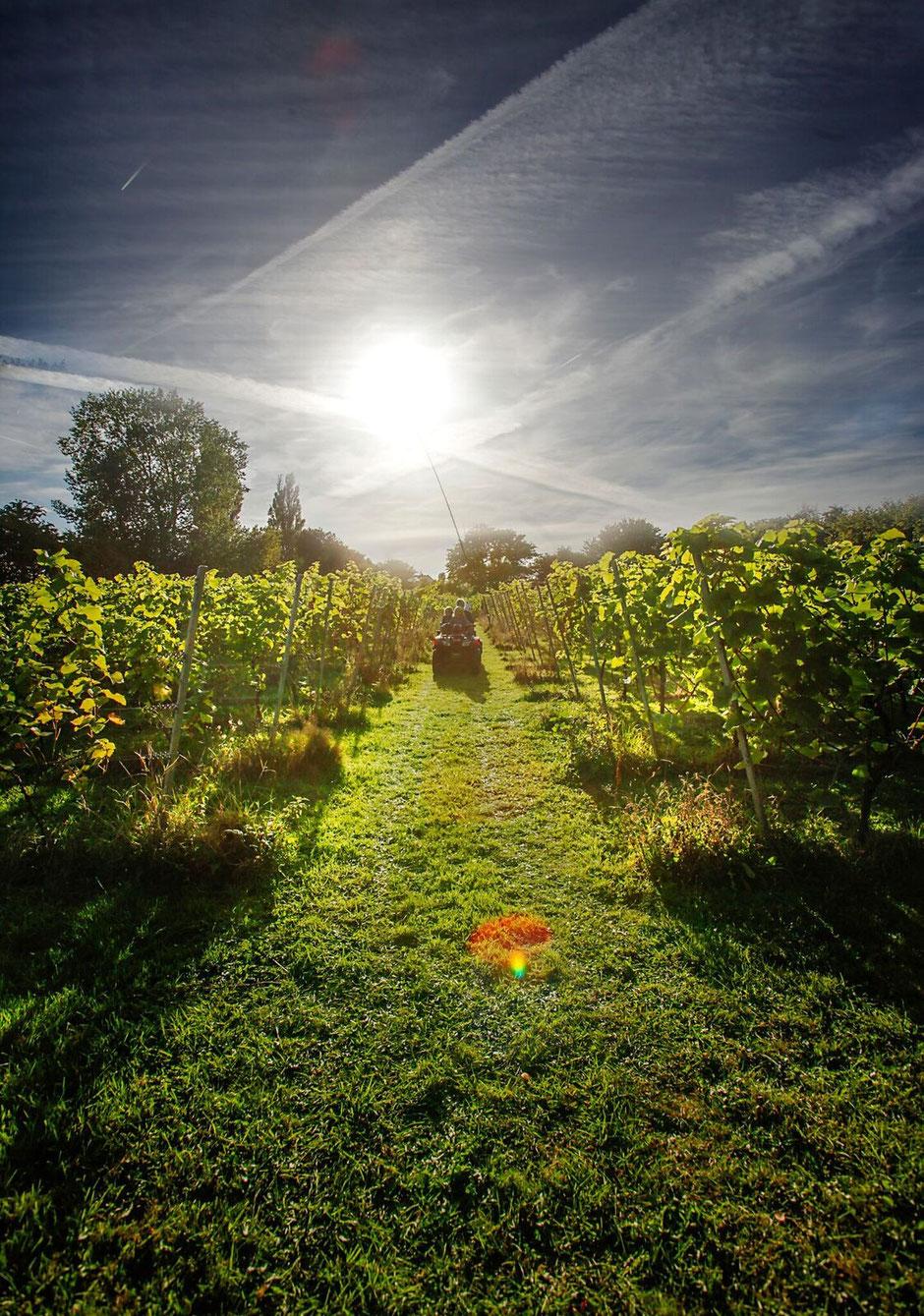 Herbst auf dem Weingut Skaarupøre Vingaard auf der dänischen Ostseeinsel Fünen. Foto: PR