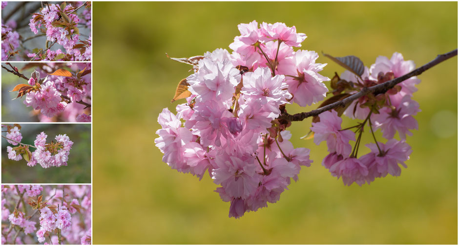 Kirschblüte 2020, BlogStomp, Dr. Ralph Oehlmann, Oehlmann-Photography