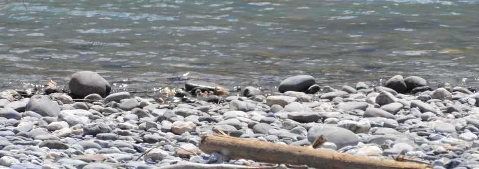 Flussregenpfeifer Juvenil Alpenrhein