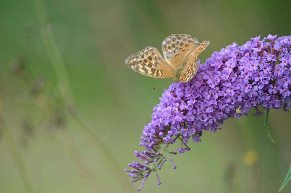 Neophyten Schmetterling