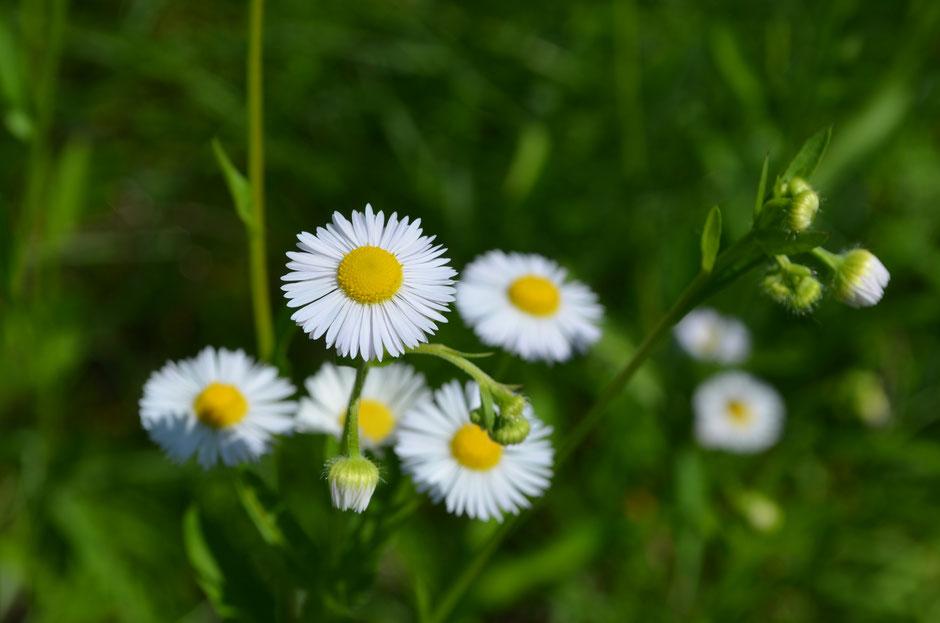 Erigeron annuus, Neophyten, Blütenstand, Einjähriges Berufskraut, Weisses Berufskraut, Feinstrahl