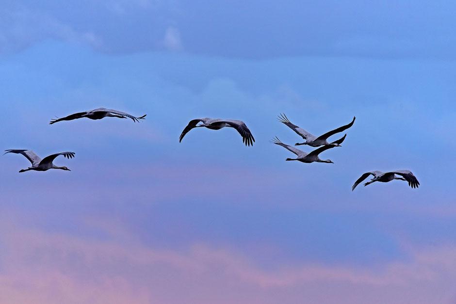 Im Moment überfliegen Kraniche die Schweiz (Bild von Dr. Georg Wietschorke (Pixabay))