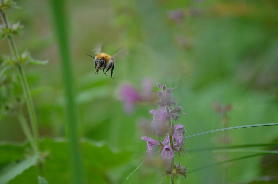 Hummel startet durch zur nächsten Blüte