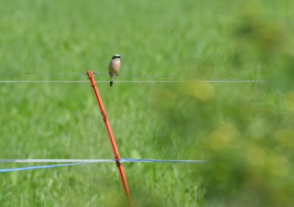 Neuntöter, Vogel des Jahres, Hecken