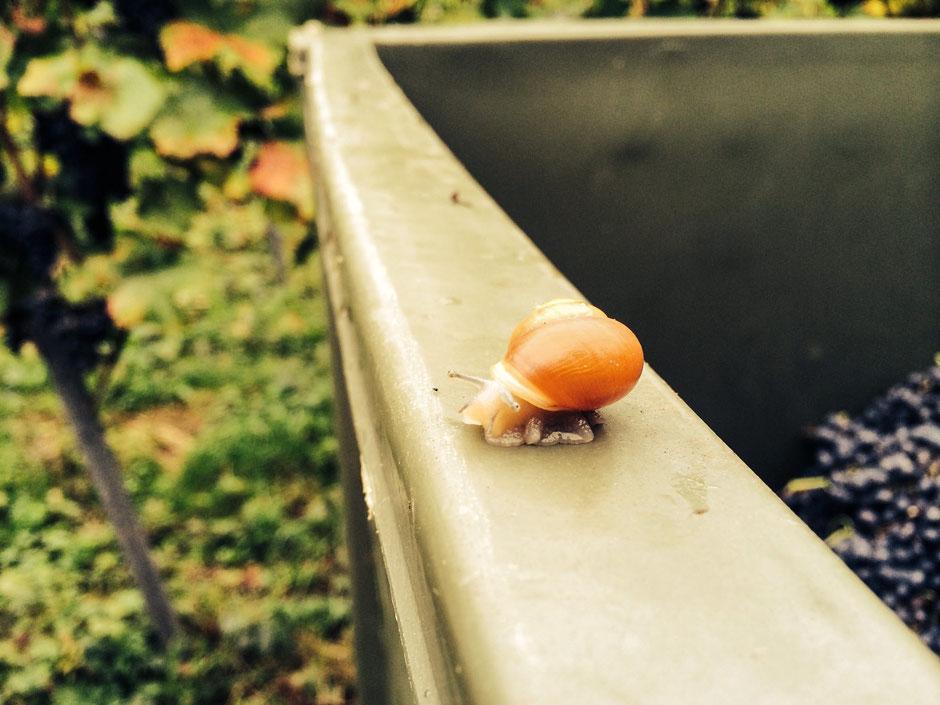 kleine Schnecke – ein Zeichen der Artenvielfalt im Ökosystem Weinberg