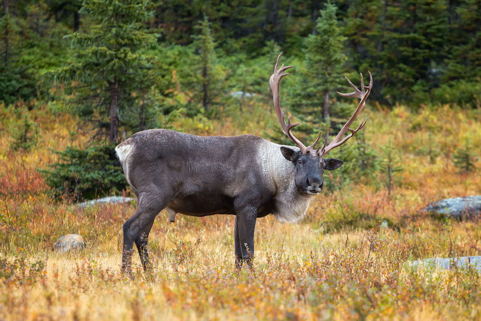 Woodland Caribou. Guide to Spotting wildlife in the Canadian Rockies