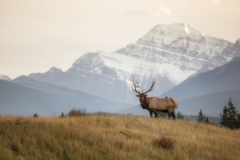 Elk in Jasper National Park