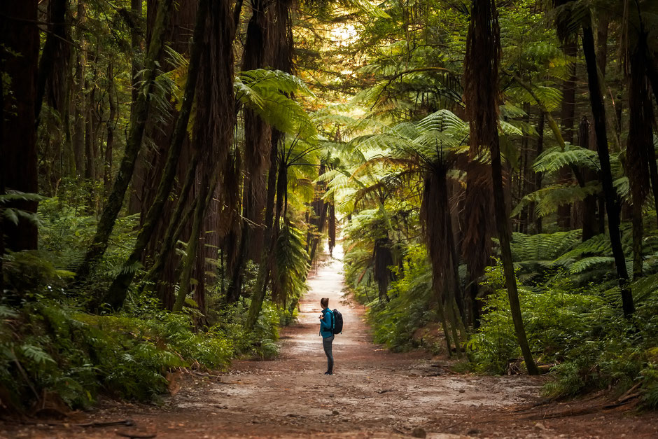 redwood forest Rotorua. Top photo spot on the North Island