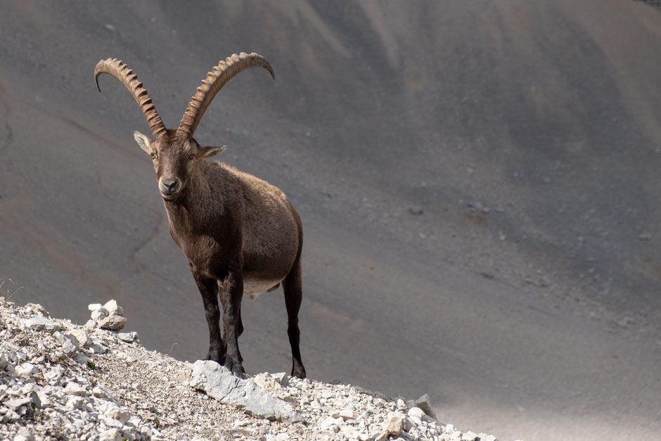 A male ibex in the italian Dolomites.