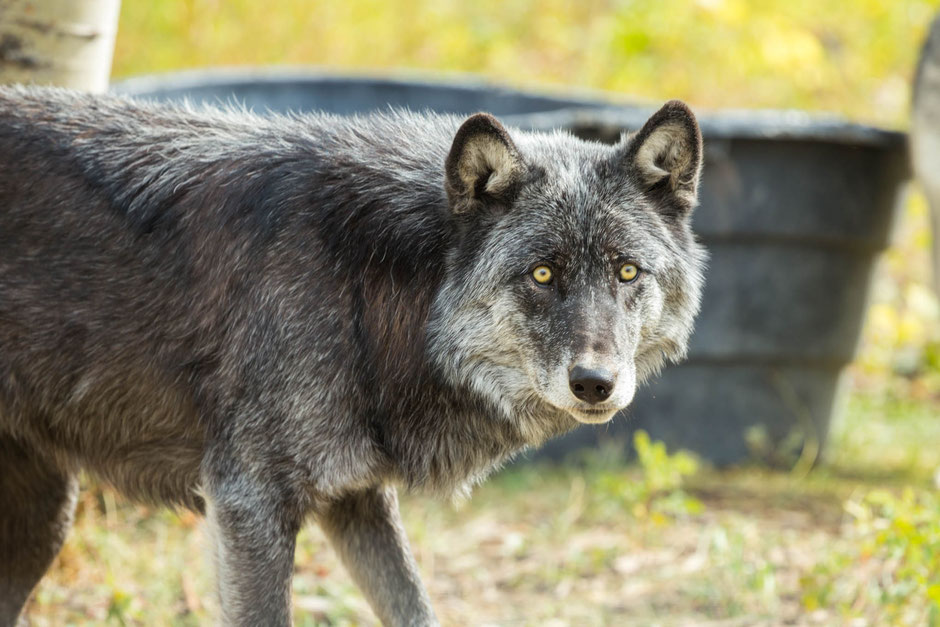 The Yamnuska Wolfdog Sanctuary - The Best Driving Itinerary around the Canadian Rockies from Vancouver to Calgary