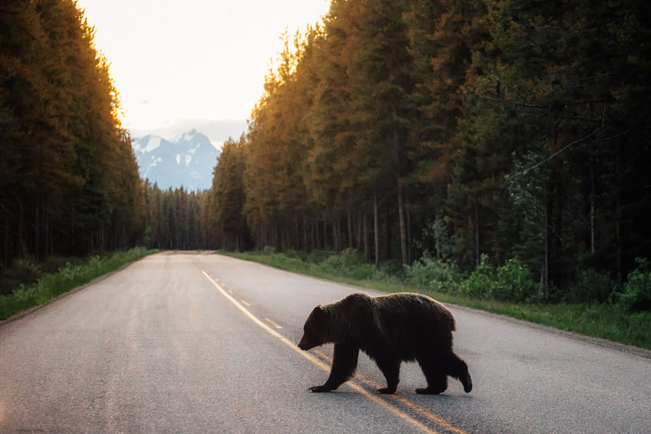 A Grizzly Bear crossing the Bow valley parkway. Comprehensive Itinerary around the Canadian Rockies from Vancouver to Calgary