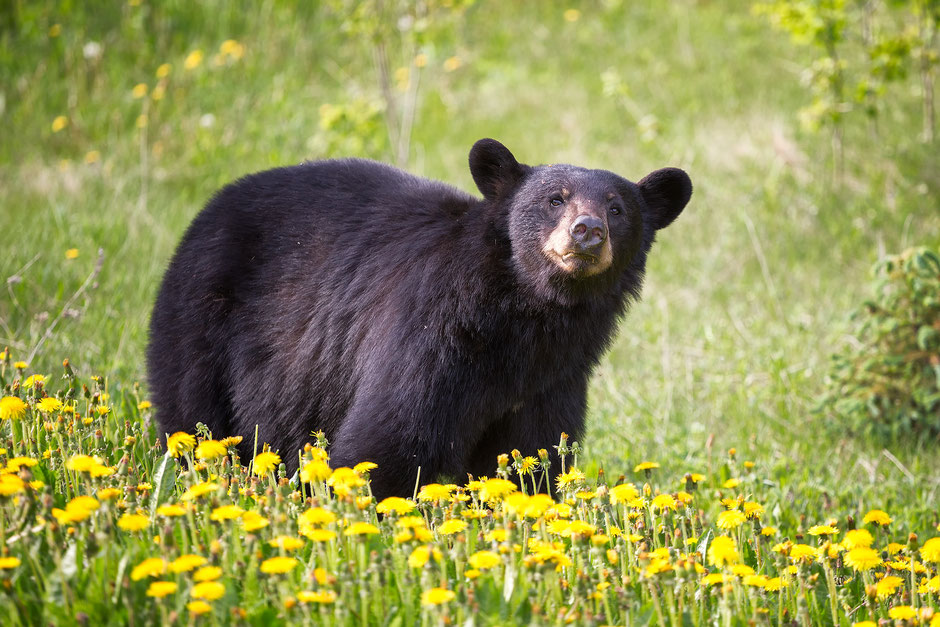 Black bear grazing on Dandelions. Where to spot wildlife in the Canadian Rockies