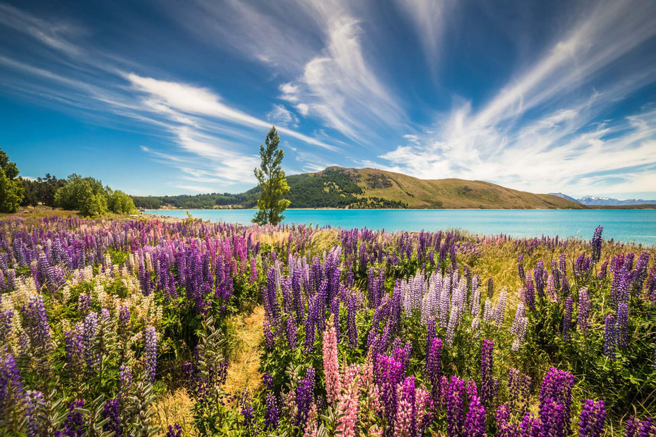 Lupin flowers along the shoreline of Lake Tekapo in New Zealand