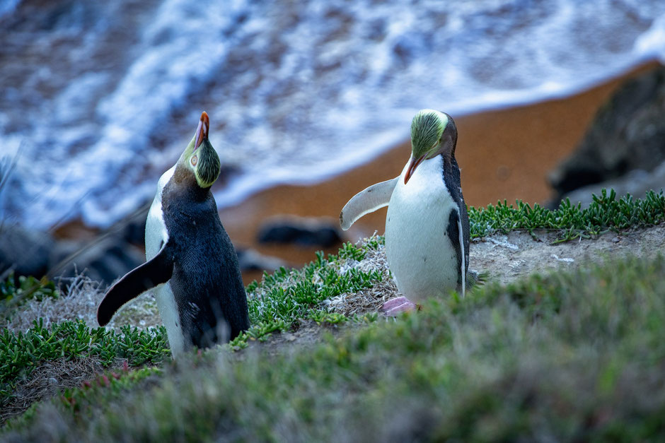 Yellow-eyed Penguins near Moeraki in New Zealand
