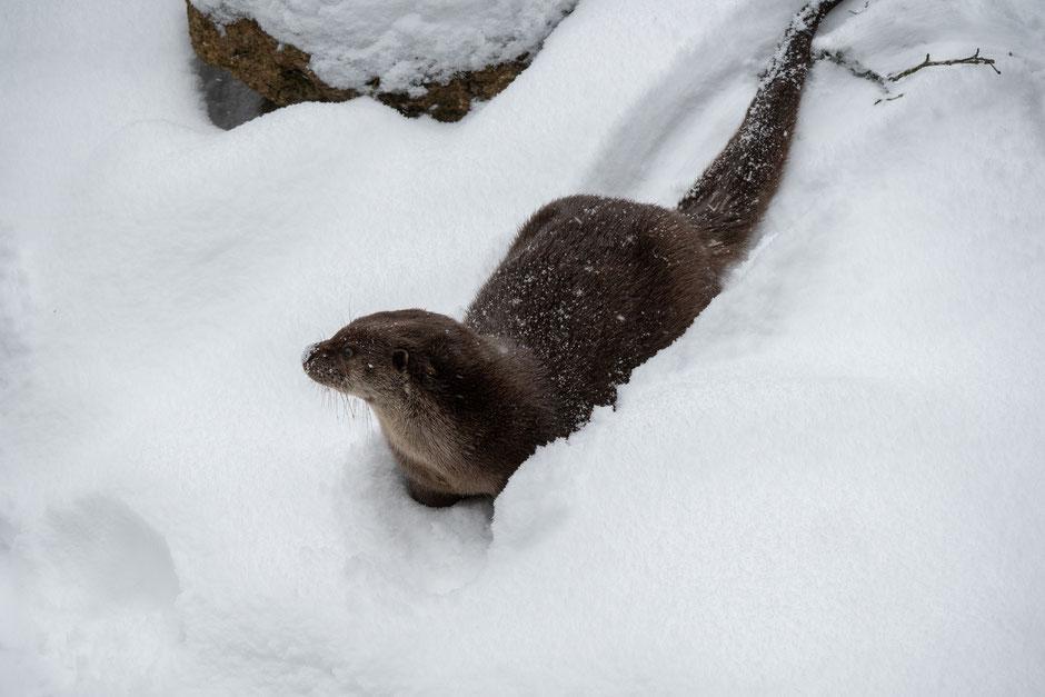 voir les animaux sauvages en foret bavaroise parc bayerischer wald