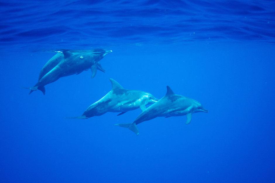 plongée moorea dauphins