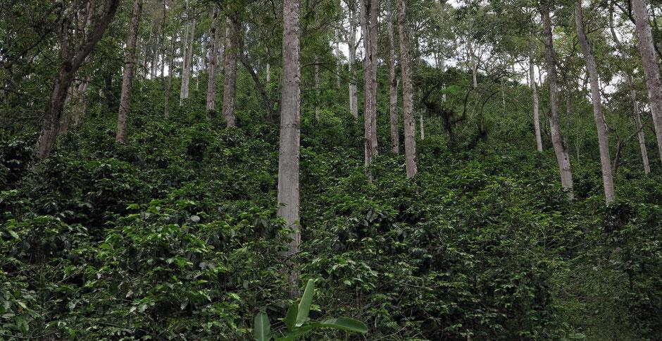 Kaffee im Schattenanbau auf der Finca Cocondo