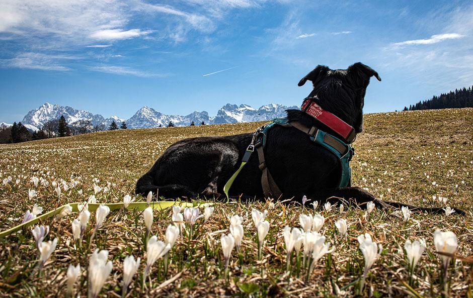 Krokuswiesen am Geroldsee, Wandern mit Hund, Urlaub mit Hund, Bergurlaub mit Hund, Wandern in Bayern