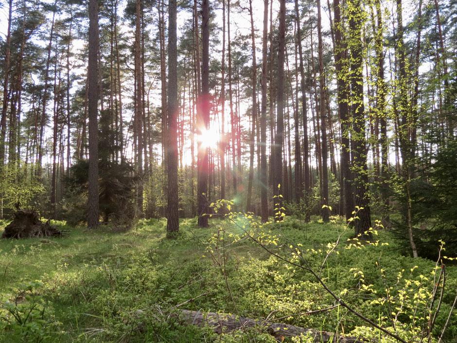 """Wald am """"Labussee"""", Zwenzow"""