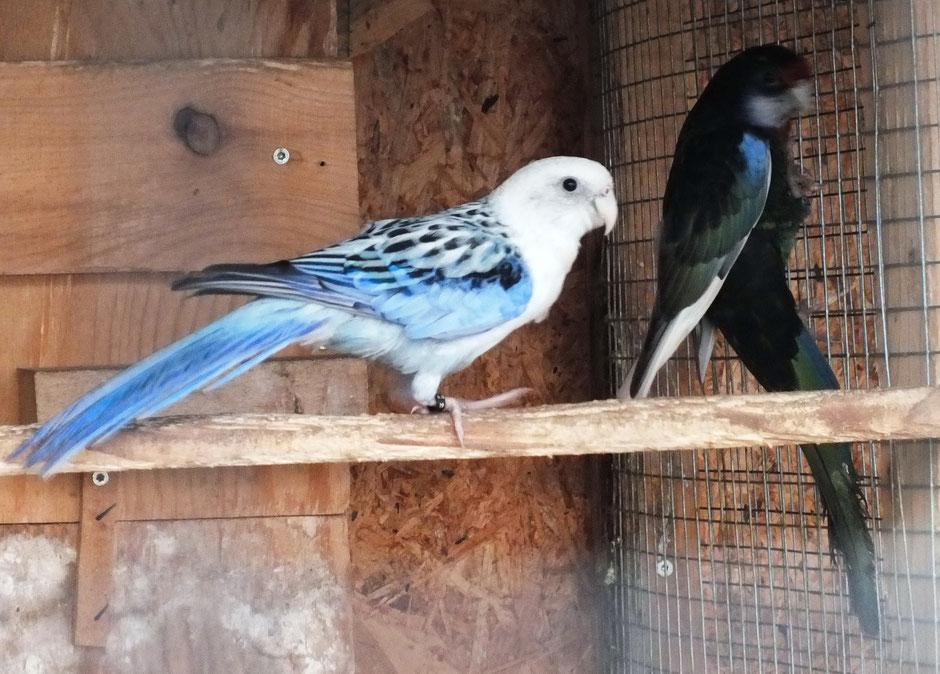 Blauopalin  spalt schwarz-pastell   x  Schwarzweissflügel   spalt blau-pastell