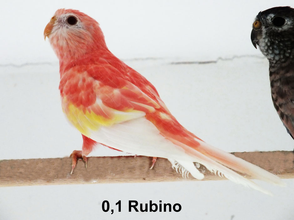meine Rubinos sind über Violett spalt Rubino gezogen , daher die starke Farbe schon bei Jungvögel und auch Weibchen