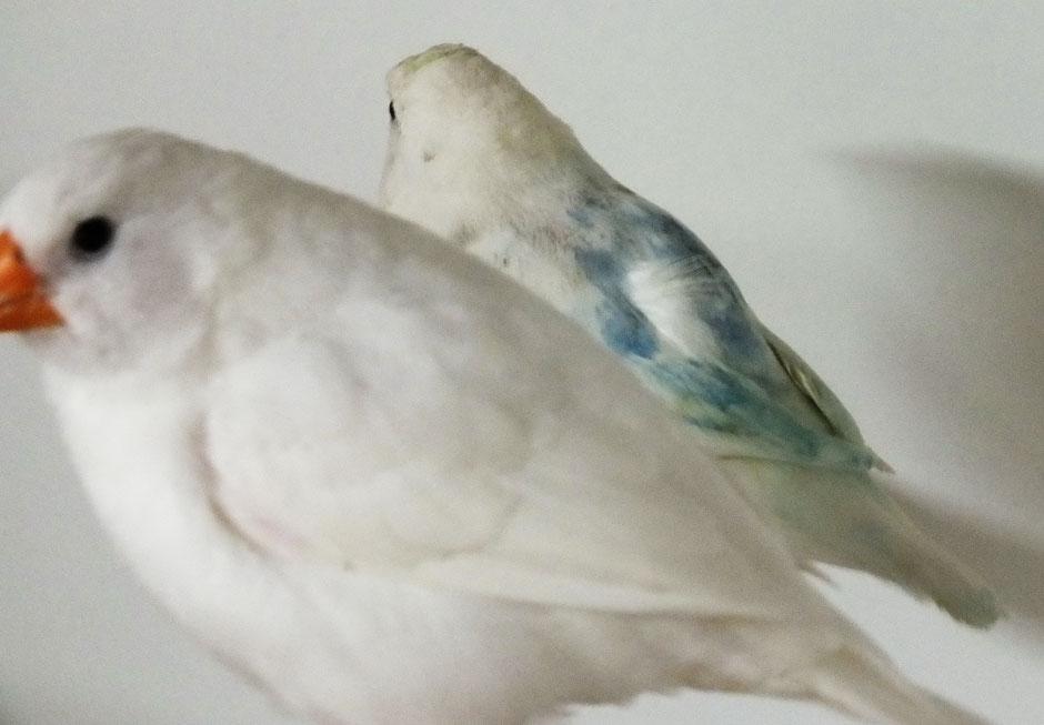 Zebrafink    0,1 Weiss x 1,0 Weiss-Blau