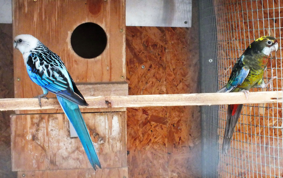 Blau  spalt schwarz  x  Schwarzopalinweissflügelschecke  (Henne noch nicht ausgefärbt )