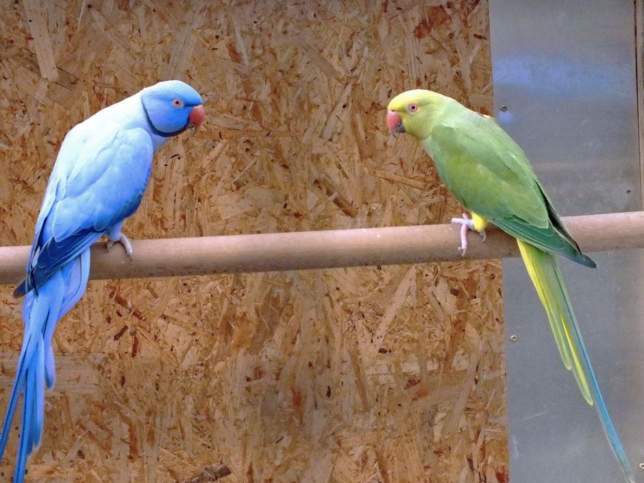 Blauviolettopalin spalt BS  x  Dunkelgrün BS  spalt Blau