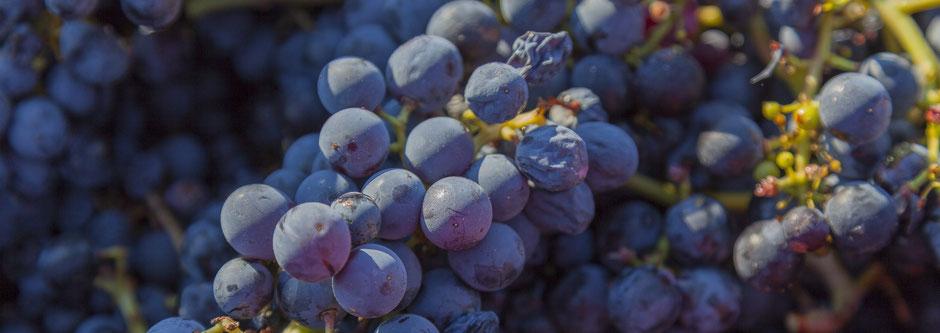 Geoogste rijpe blauwe druiven in het zonlicht.