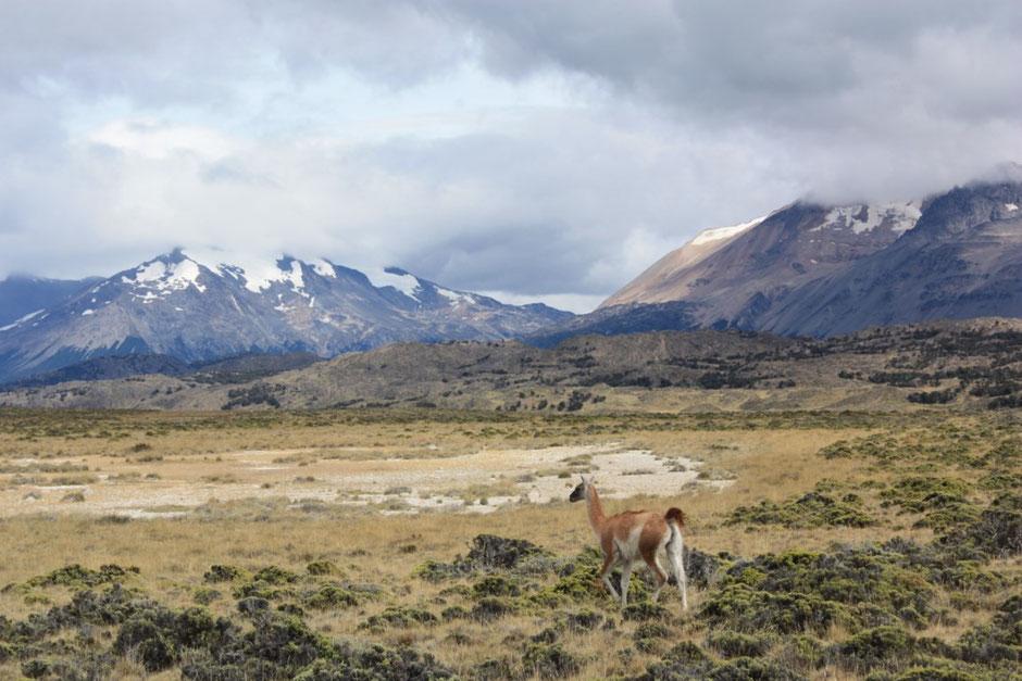 Buenos paisajes!!! la fauna se hace ver, un guanaco nos mira sorprendido