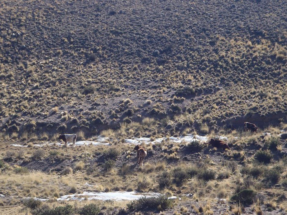 El ganado se alimenta de la estepa arbustiva del lugar.