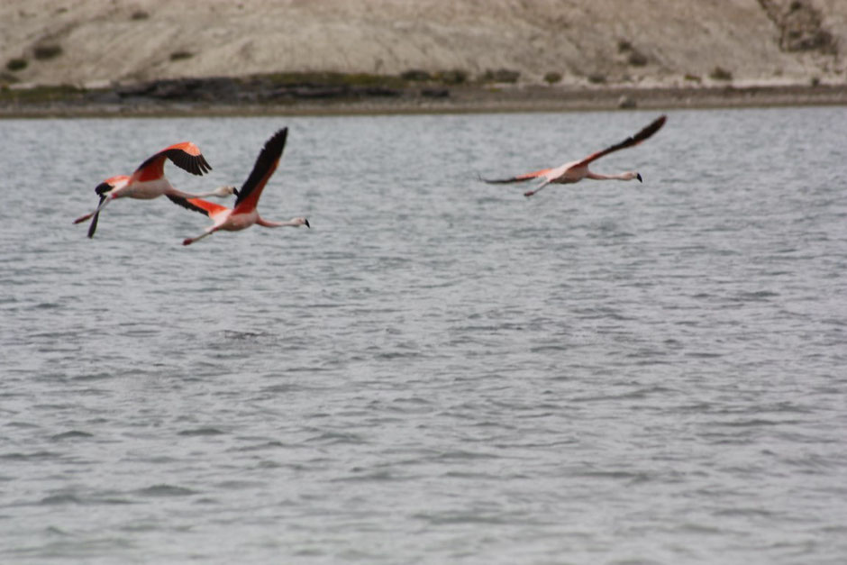 Flamencos en vuelo.
