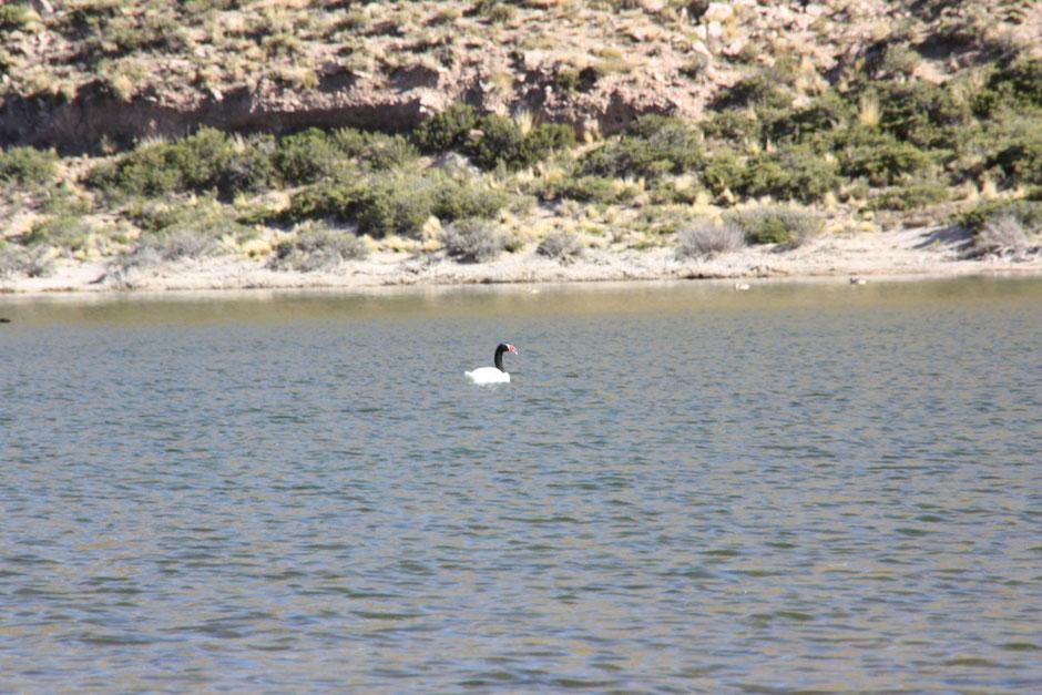 Entre otras aves predomina el Cisne de cuello negro
