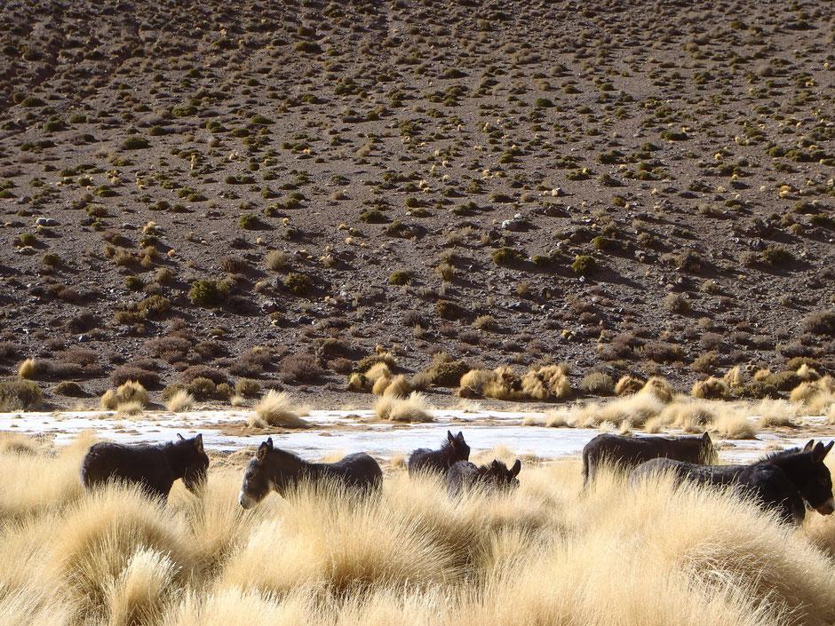 En el arroyo congelado, una manada de burros pasta y bebe sin inmutarse por el paso de las camionetas.