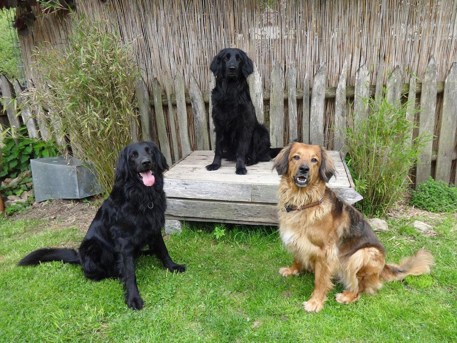 Drei Hovawarte sitzen im Garten und schauen aufmerksam