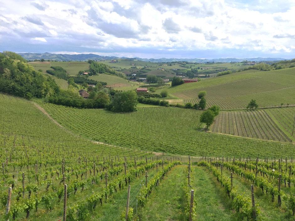 イタリア ニッツァ モンフェラート(  Nizza Monferrato)の宿  AGRITURISMO ALBAROSSAからの眺め 葡萄畑