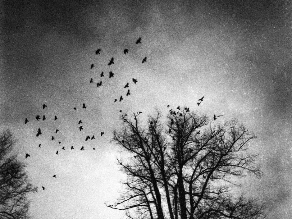 Flying crows in the sky in a black and white mysterious mood