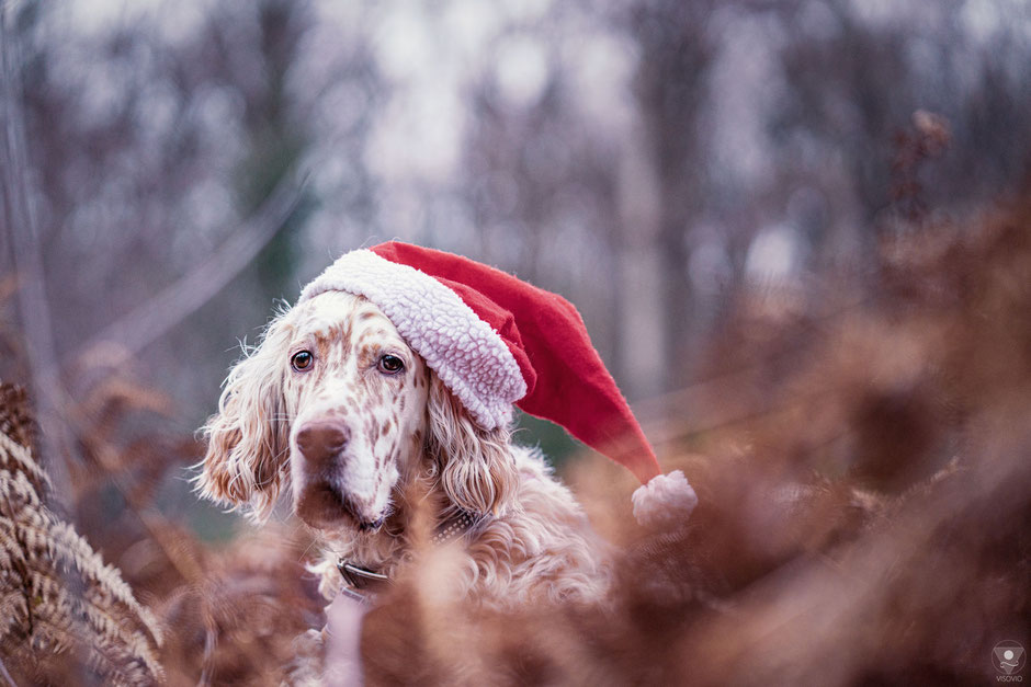 English Setter Coco mit Weihnachtsmütze   www.visovio.de