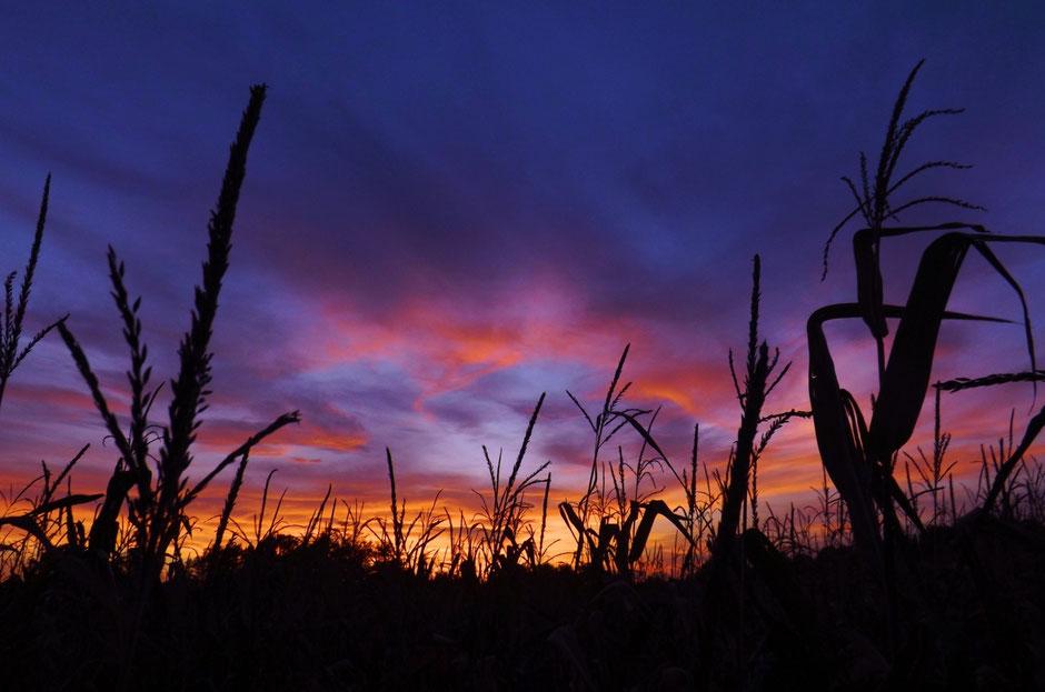Sunset over a corn field