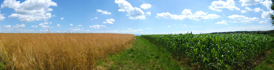 Panoramic image of wheat and corn fields