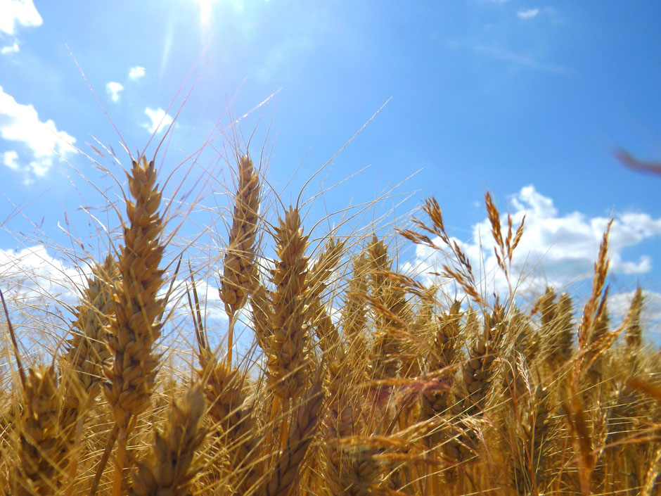 Wheat in the summer sun