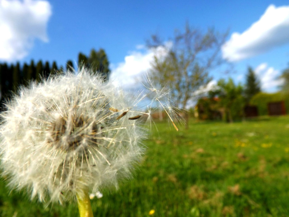 Dandelion flower in the wind