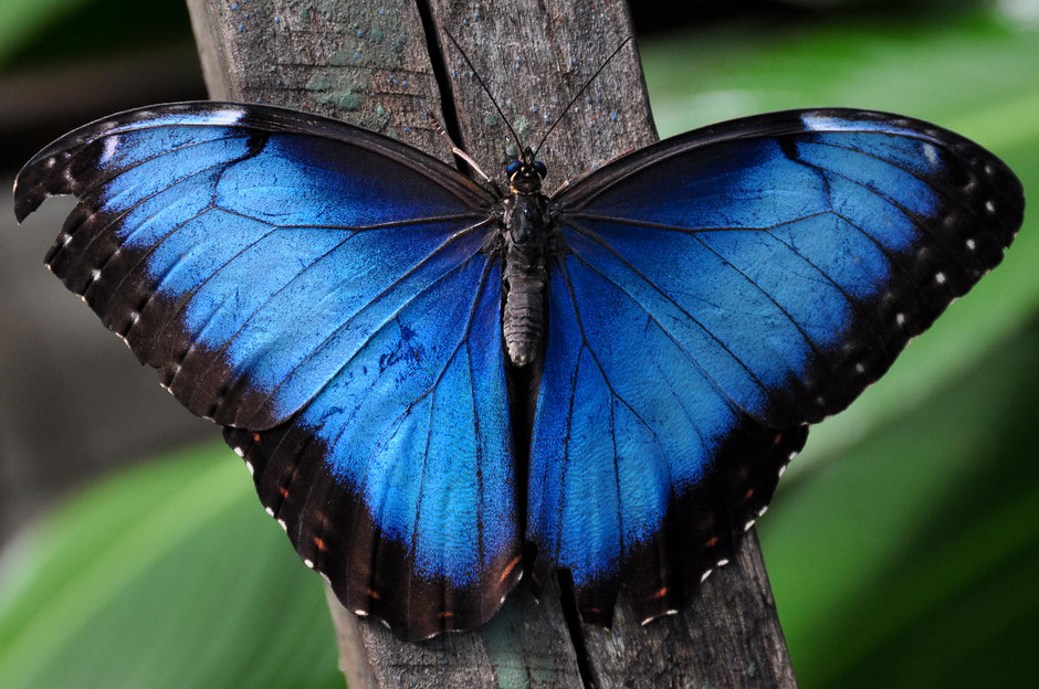 Xcaret with Toddlers - Butterfly Pavilion - Blue Morpho