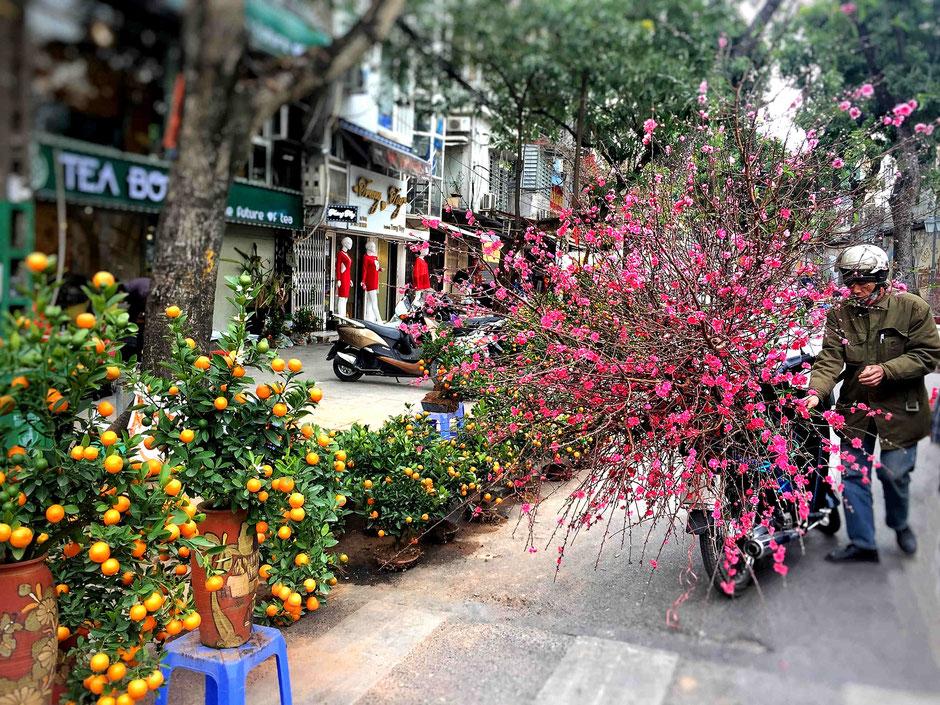 TET-Vorbereitungen-Hanoi-TET Bäume-Pfirsichbaum-Mandarinbaum-Transport auf Moped